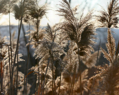 frozen phragmites in the sun