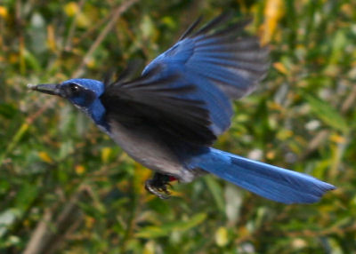 Island Scrub Jay in flight