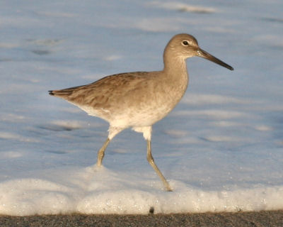 Willet in morning light