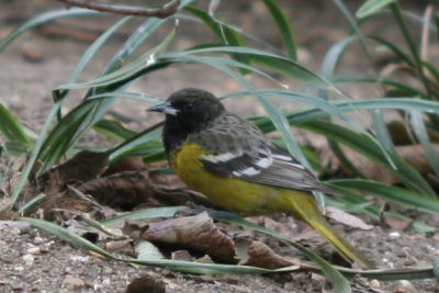 New York's first state record of Scott's Oriole