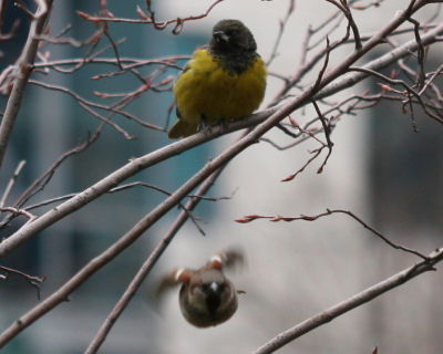 Scott's Oriole in Union Square Park with fly-by House Sparrow