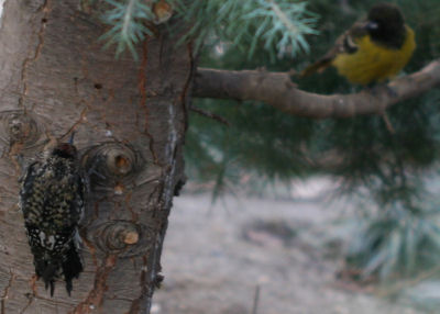 Yellow-bellied Sapsucker about to be driven away
