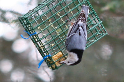 White-breasted Nuthatch on suet