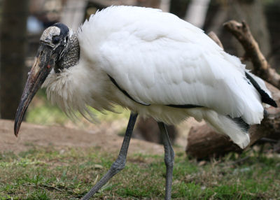 Wood Stork at the Wild Animal Park