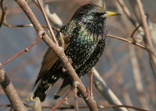 European Starling in Union Square Park