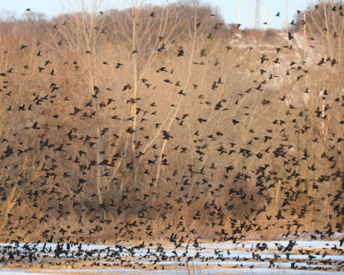 flock of blackbirds