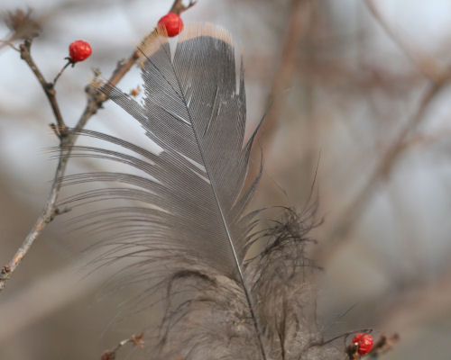 Blue Jay feather with berries