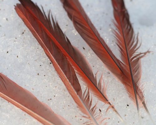 cardinal feathers