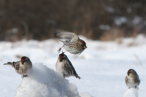 We might be Common Redpolls but we're still pretty cool!