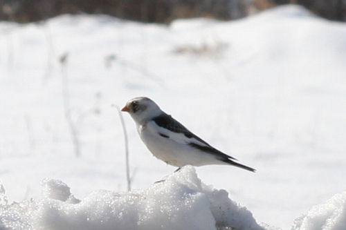 Snow Bunting in Fort Edward