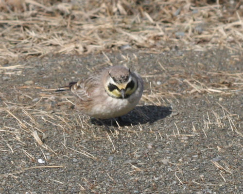 Horned Lark in Fort Edward