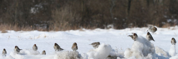 Common Redpolls in Fort Edward