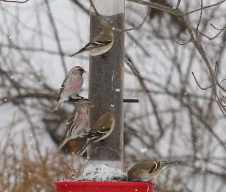 Hoary Redpoll in Montgomery, Orange County, New York