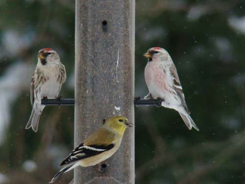 Common and Hoary Redpolls and American Goldfinch