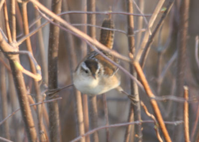 Marsh Wren at Black Creek Marsh