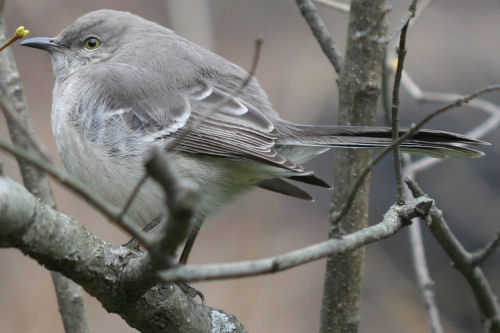 Northern Mockingbird in Central Park