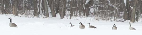 odd goose with Canada Geese