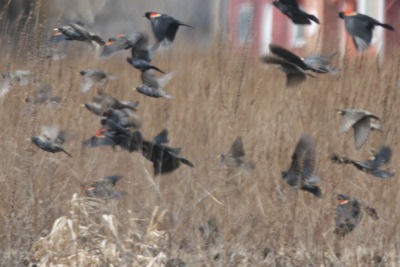 Red-winged Blackbirds and European Starlings