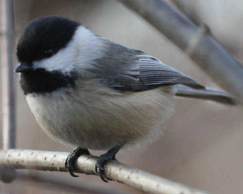 Black-capped Chickadee in Van Cortlandt Park