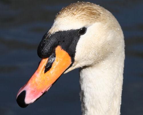 Mute Swan at Van Cortlandt Park