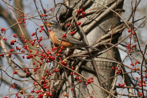 American Robin at Van Cortlandt Park
