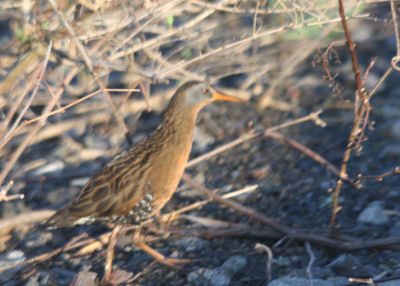 Virginia Rail at Black Creek Marsh