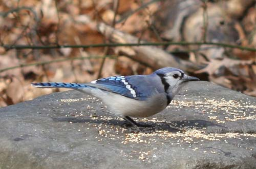Blue Jay at Forest Park, Queens, NY