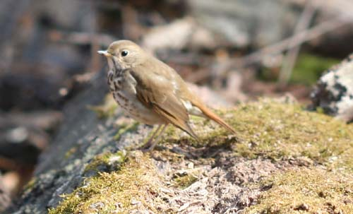 Hermit Thrush at Forest Park, Queens, NY