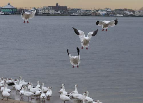 Snow Geese landing at Jamaica Bay