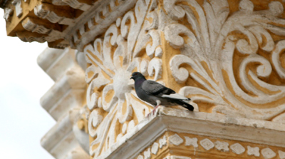 Pigeon in Antigua