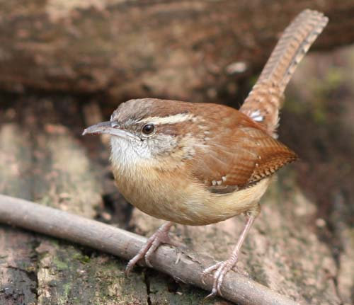 Carolina Wren posing on a stick