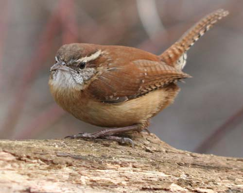 Carolina Wren posing on another log