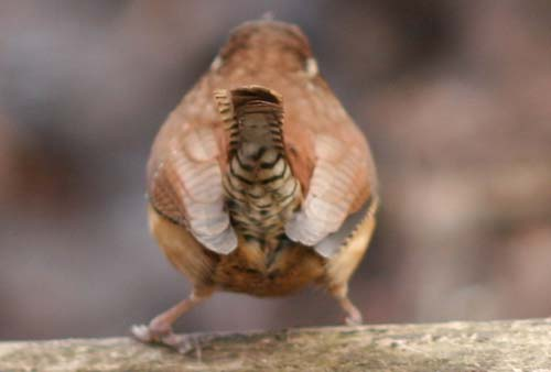 Carolina Wren rear-view
