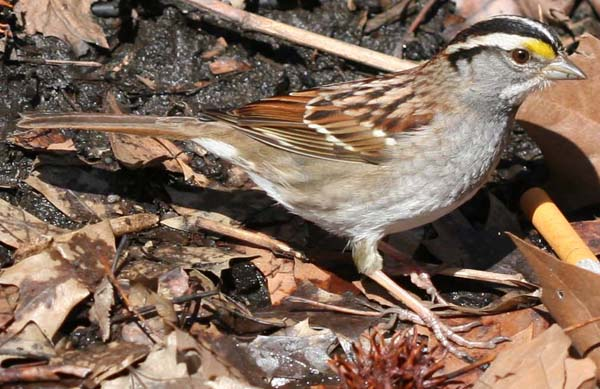 Central Park White-throated Sparrow