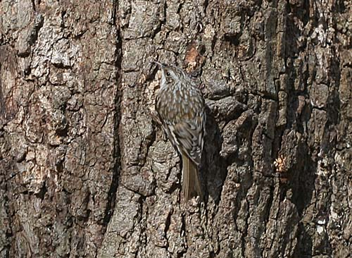 Brown Creeper at Forest Park