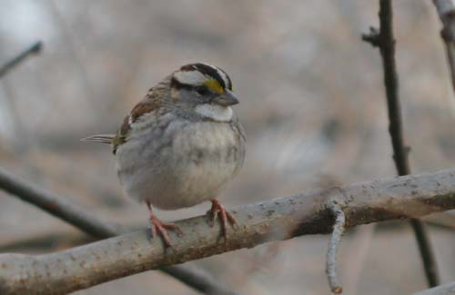 White-throated Sparrow at Forest Park