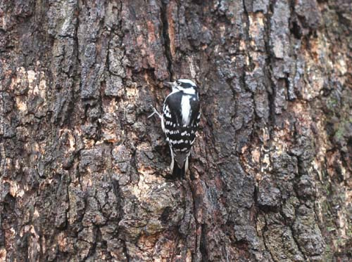 Downy Woodpecker in Forest Park