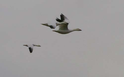 Snow Geese in flight at Jamaica Bay