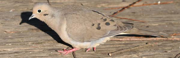 Mourning Dove at Van Cortlandt Park