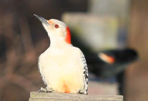 Red-bellied Woodpecker at Van Cortlandt Park