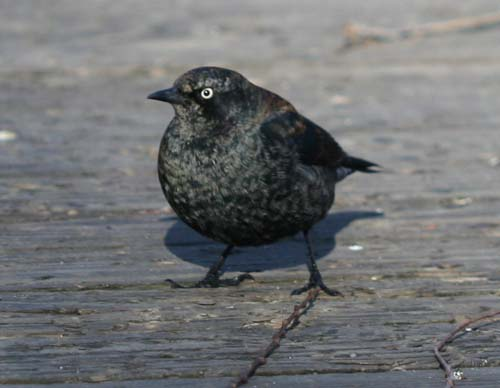 Rusty Blackbird in Van Cortlandt Park