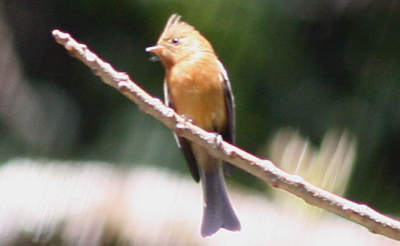 Tufted Flycatcher