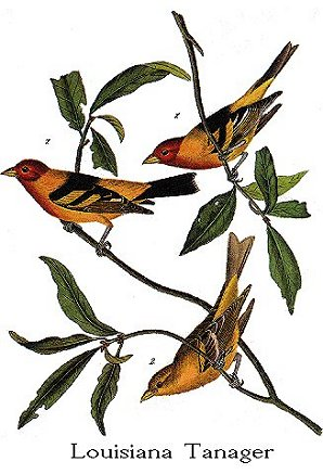 "Western ""Louisiana"" Tanager"