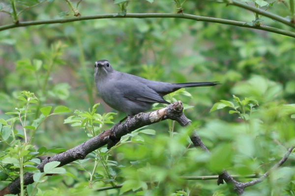 Gray Catbird in Forest Park