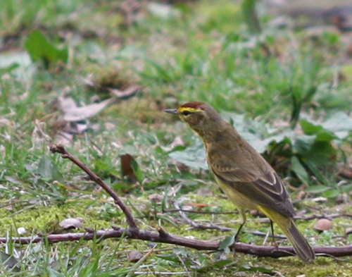 Palm Warbler fully extended
