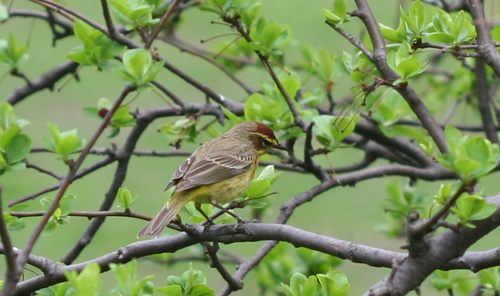 Palm Warbler in a tree in Central Park