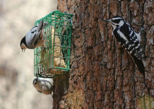 suet feeder with Downy Woodpecker and White-breasted Nuthatches