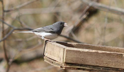 Dark-eyed Junco on platform feeder