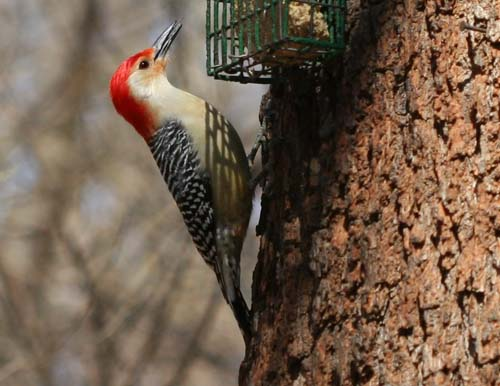 Red-bellied Woodpecker on the suet feeder