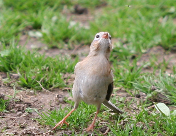Field Sparrow and bug in Central Park